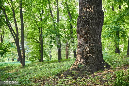 Big oak tree in Beautiful park scene in park with green grass.