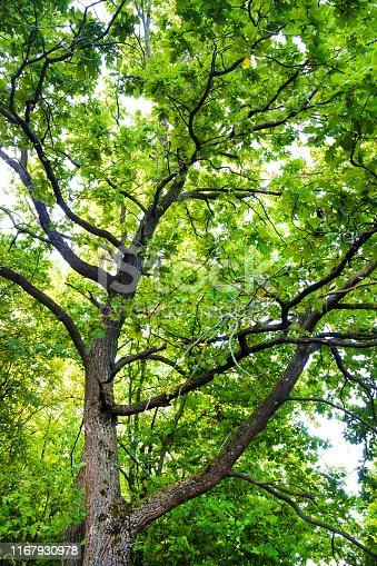 istock Big oak tree in green summer forest 1167930978