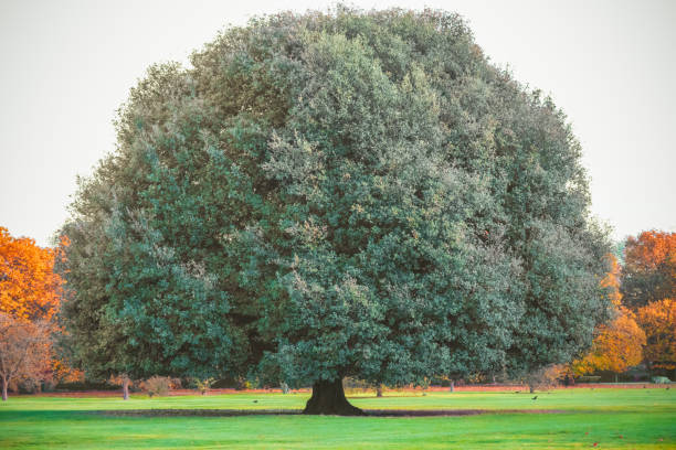 Big oak tree in Greenwich park Big oak tree in Greenwich park, London sycamore tree stock pictures, royalty-free photos & images