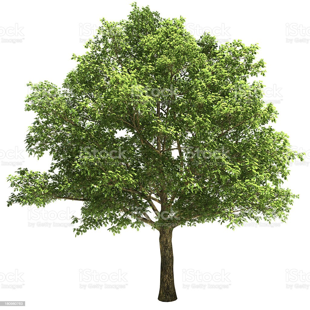 Big Oak Tree Isolated stock photo