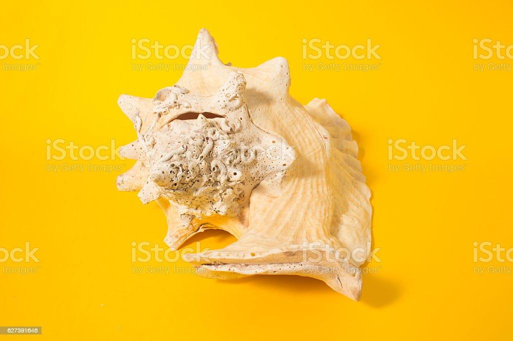 Big oceanic shell. stock photo