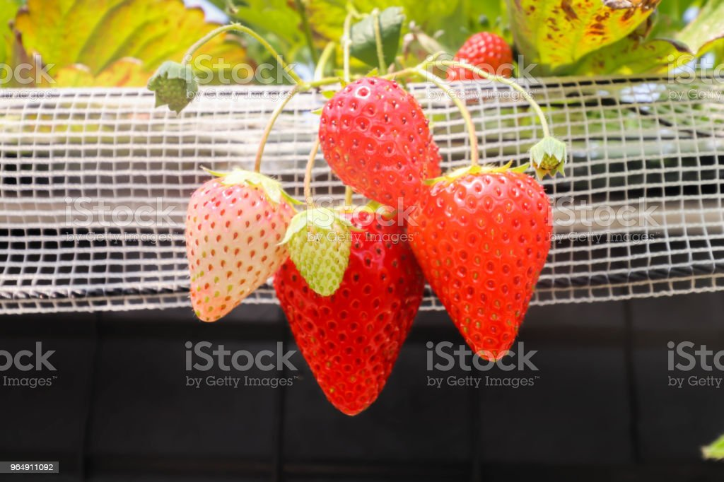 Big of four Strawberry fruits on the branch in Strawberry farm , japan royalty-free stock photo
