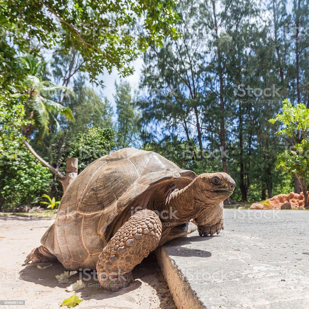 Big old Aldabra giant turtle, Aldabrachelys gigantea, on La Digue Lizenzfreies stock-foto