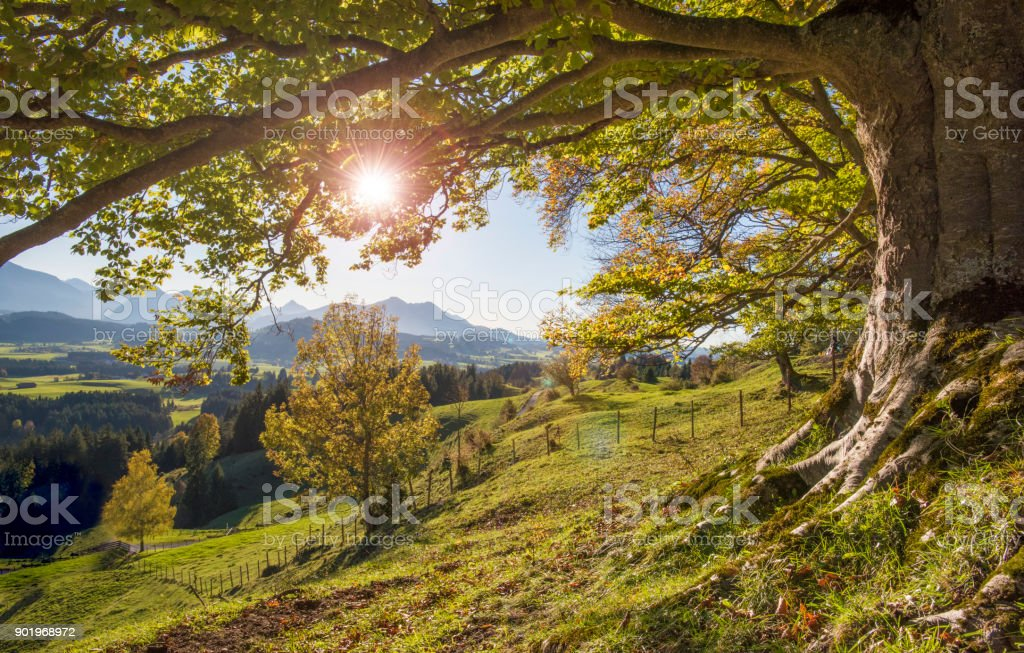 big old beech tree in autumn with sunset and sunbeams stock photo