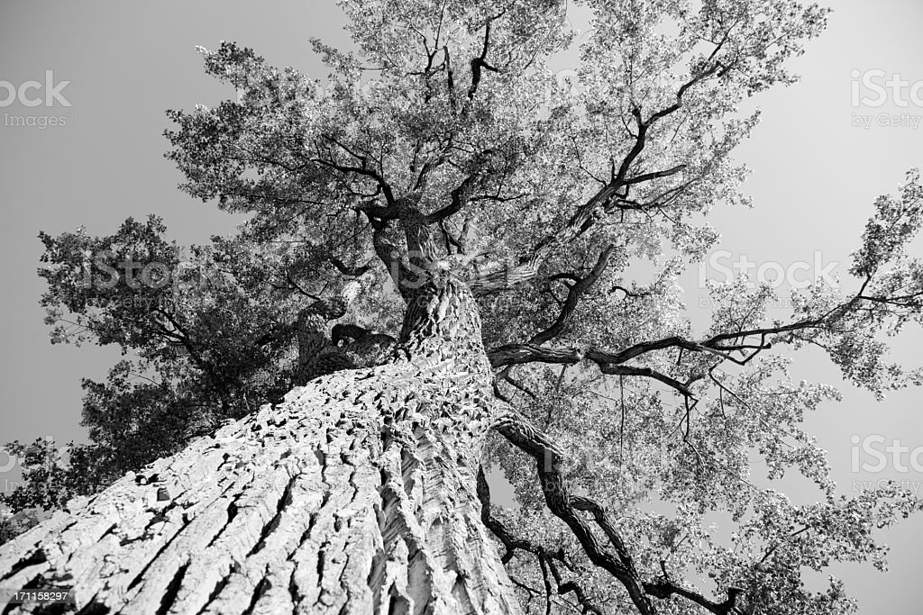 Big old elm tree seen from below stock photo