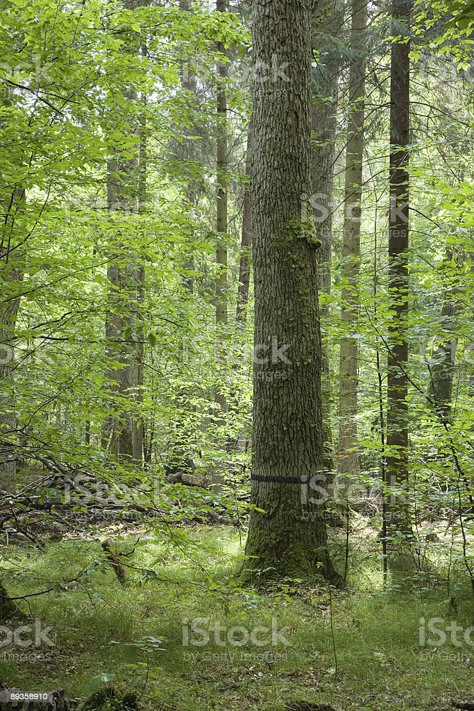 Big old oak black strip marked royalty free stockfoto