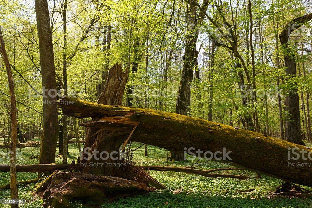 Big old oak broken in spring stock photo