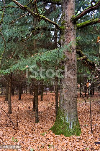 Big old pine in a dark autumn forest. Russia.