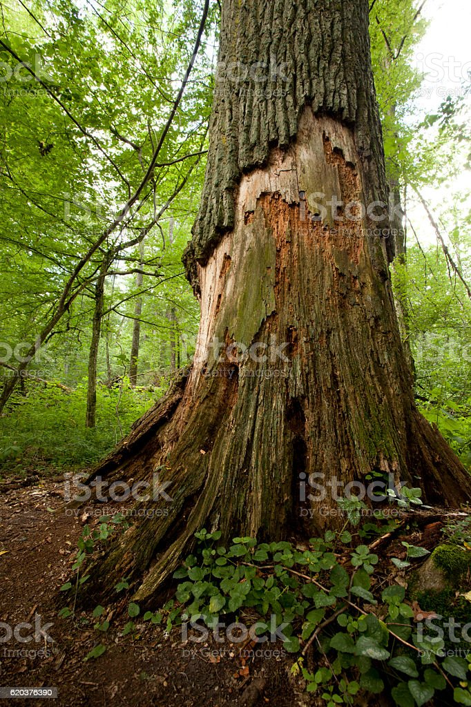 Grande árvore velha na floresta natural foto de stock royalty-free