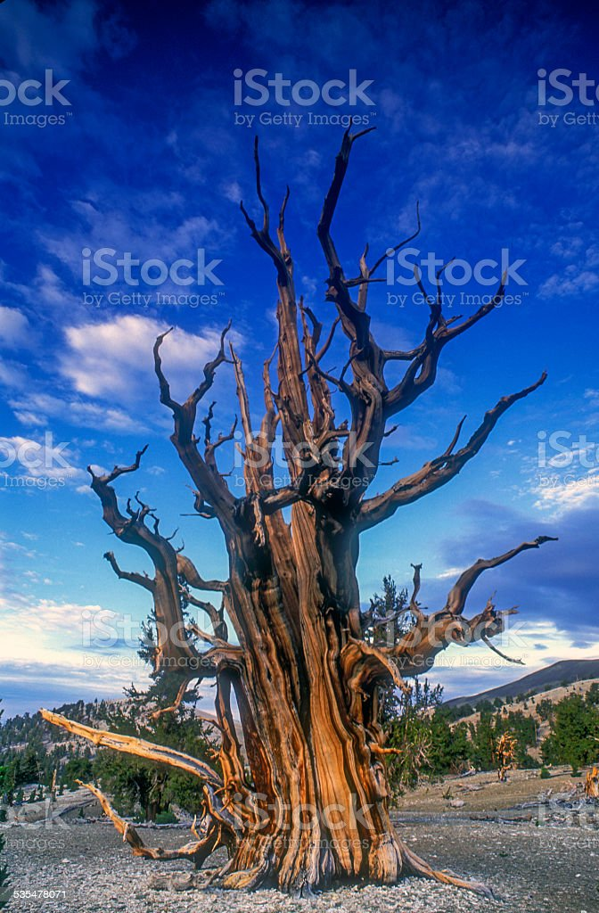Big Old Tree stock photo
