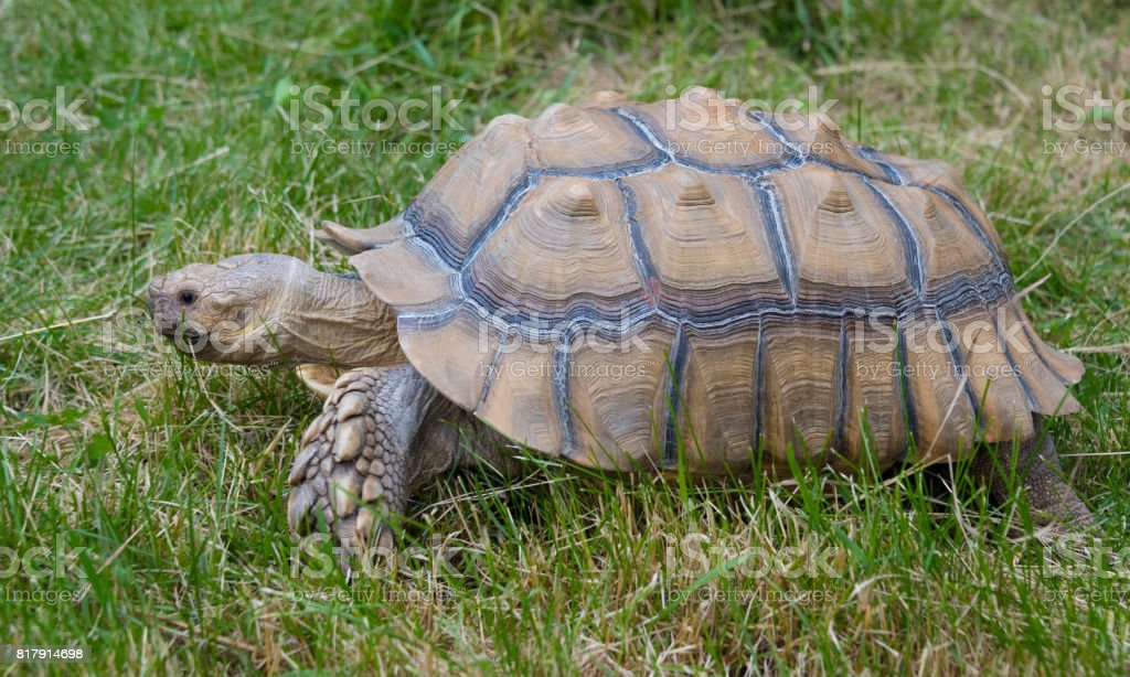 Big old turtle on a green grass stock photo