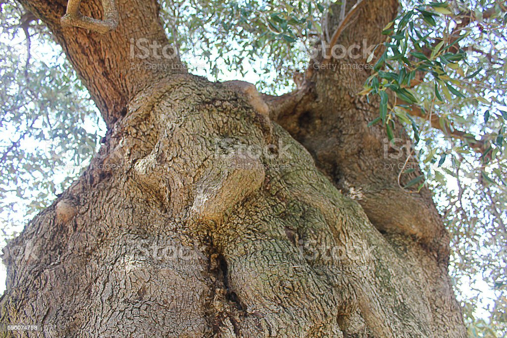 big olive trunk royalty-free stock photo