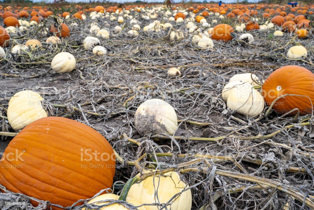 Big orange and white giant pumpkins in a dirt pumpkin patch, ready to...