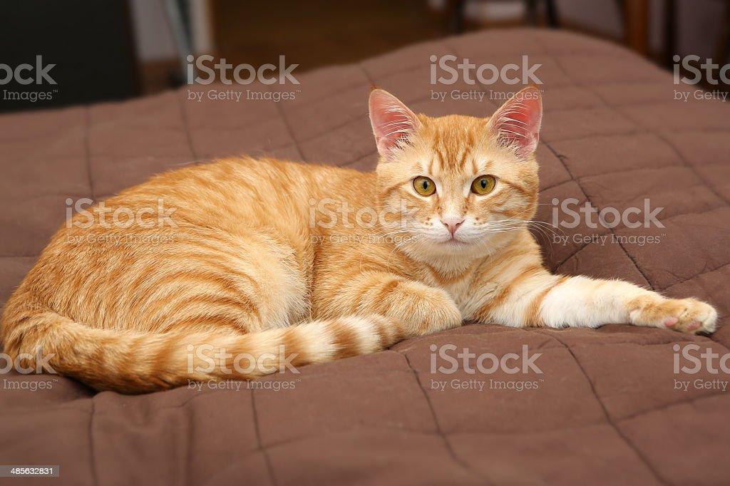 Big orange cat stock photo