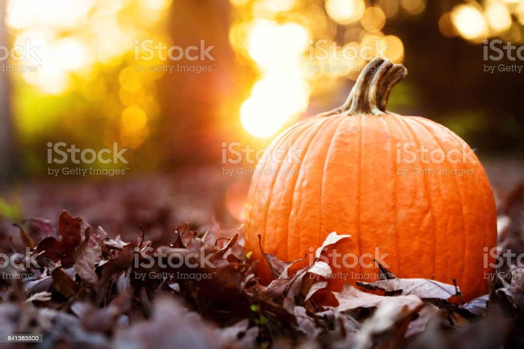 Big orange pumpkin with fall leaves at sunset