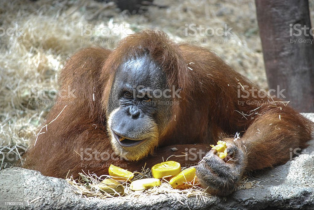 Big orangutan stock photo