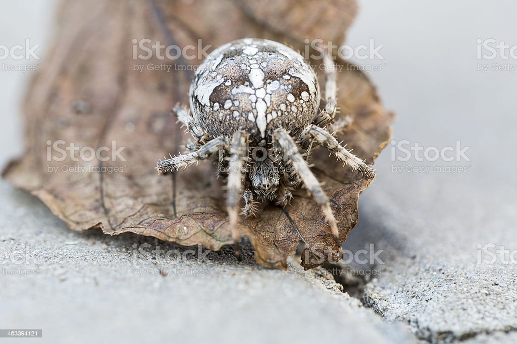 Big Orb spider on the leaf stock photo