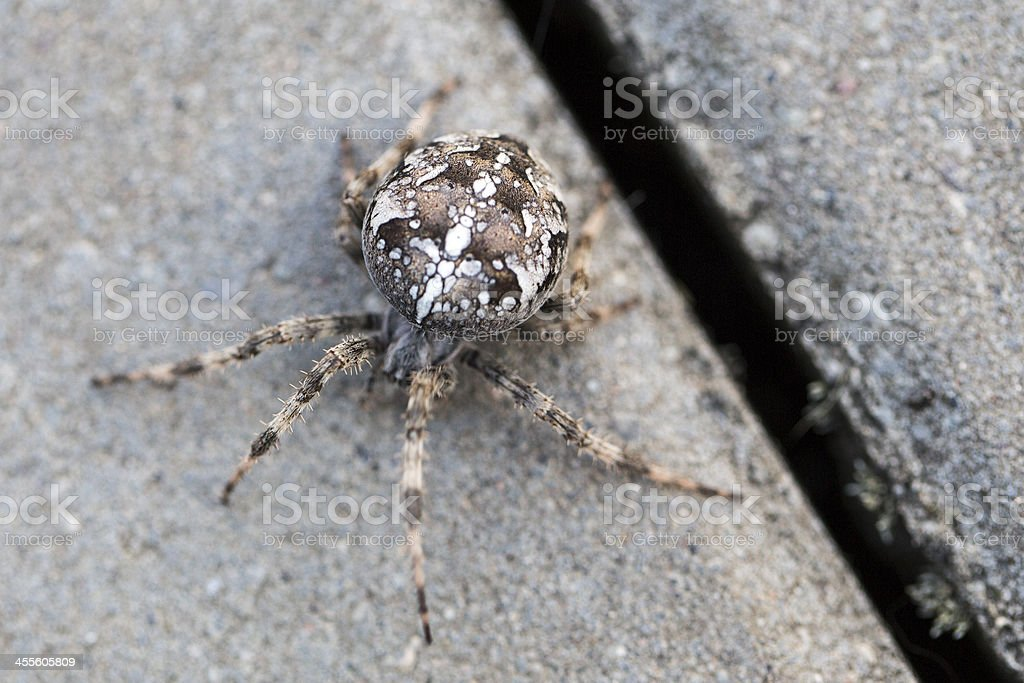 Big Orb spider stock photo