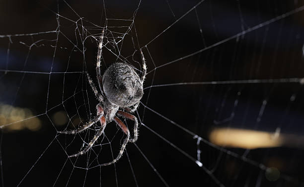 Big orb weaver spider on its web at sunset stock photo