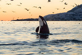 Big Orca Sunset Spyhop