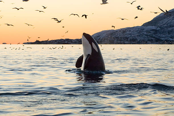 Big Orca Sunset Spyhop  whale stock pictures, royalty-free photos & images
