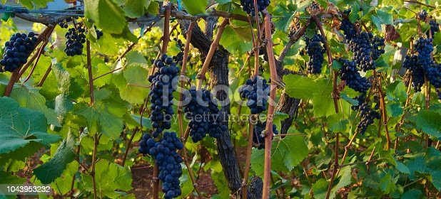 Northwest Oregon's Willamette Valley. Epic Pinot Noir Grapes.