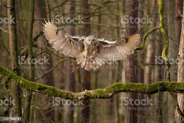 Big owl landing to the tree branch siberian eagle owl picture id1207369791?b=1&k=6&m=1207369791&s=612x612&h=7t32yq2yqqadzcjnsjuv6jrm81mvgec6dbqgvv1zm7q=