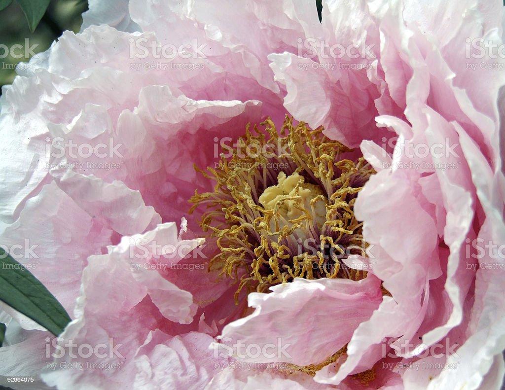 Big Paeonia royalty-free stock photo