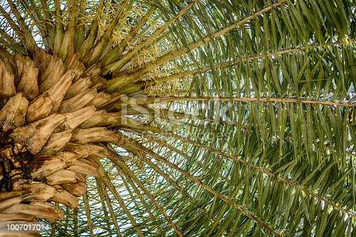 istock Big palm trees in a park in Thailand. 1007017014