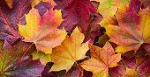 Big panoramic photo of multicolor autumn leaves background. Amazing multicolor autumn background