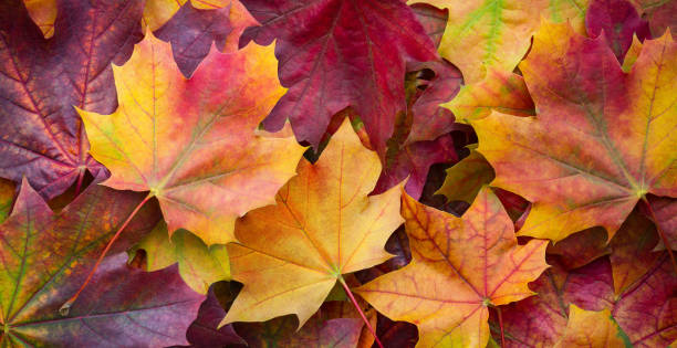 Big panoramic photo of multicolor autumn leaves background. Amazing multicolor autumn background Big panoramic photo of multicolor autumn leaves background. Amazing multicolor autumn background autumn leaf color stock pictures, royalty-free photos & images