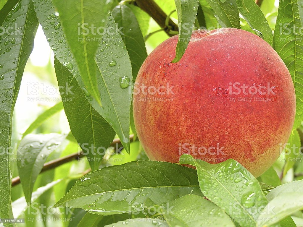 Big Peach on the Tree royalty-free stock photo
