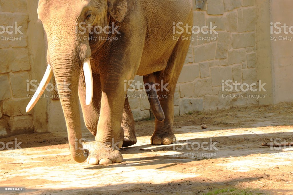 A big penis of asian elephant. Elephant walking with erection in the park. He has elephant white tusks. stock photo