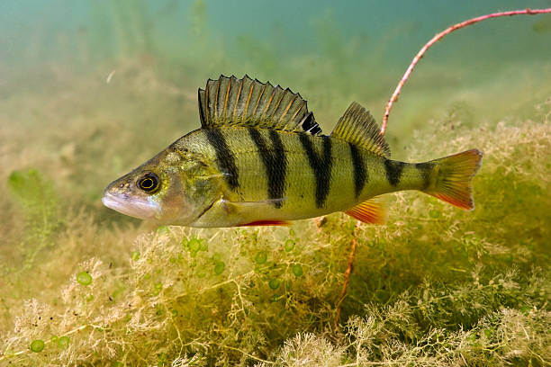 Big Perch Perch on the plants background perch fish stock pictures, royalty-free photos & images