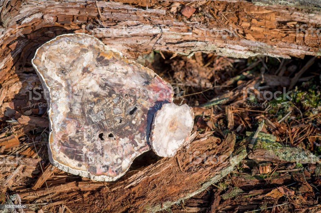 1 großes Stück und 1 kleines Stück versteinertes Holz – Foto