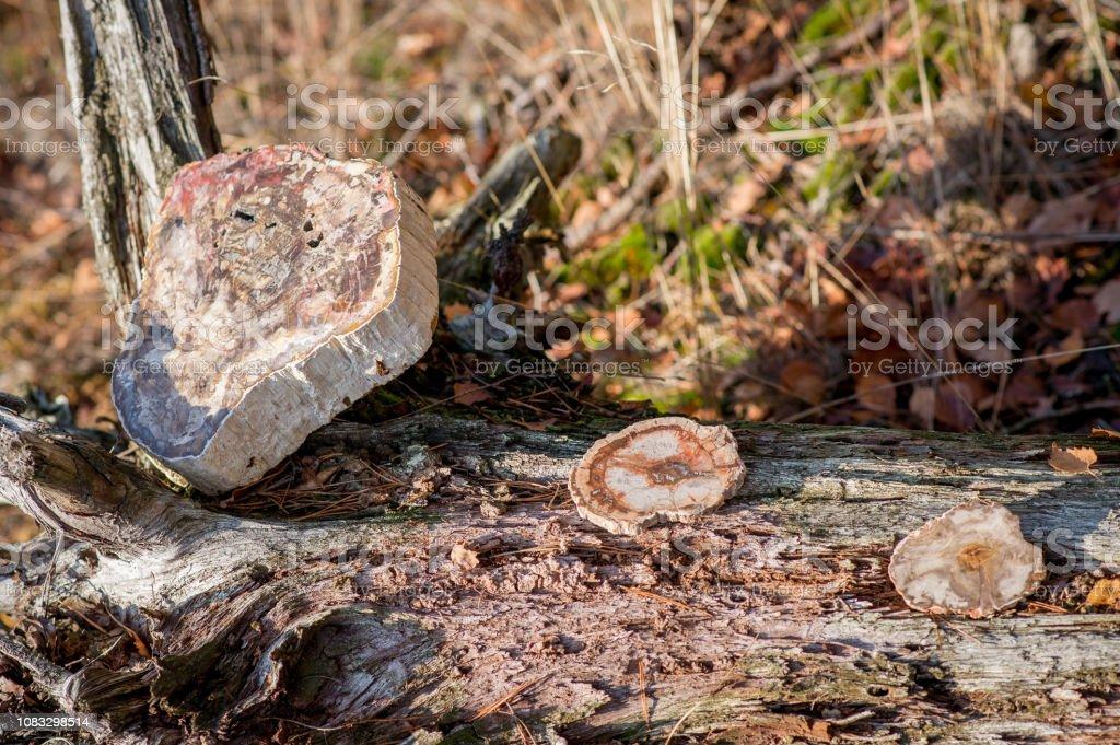 1 großes Stück und 2 kleine Stück versteinertes Holz – Foto