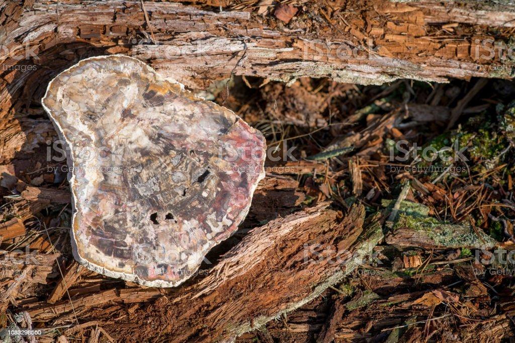 Großes Stück versteinertes Holz Auflegen eines alten Baumes im Wald – Foto