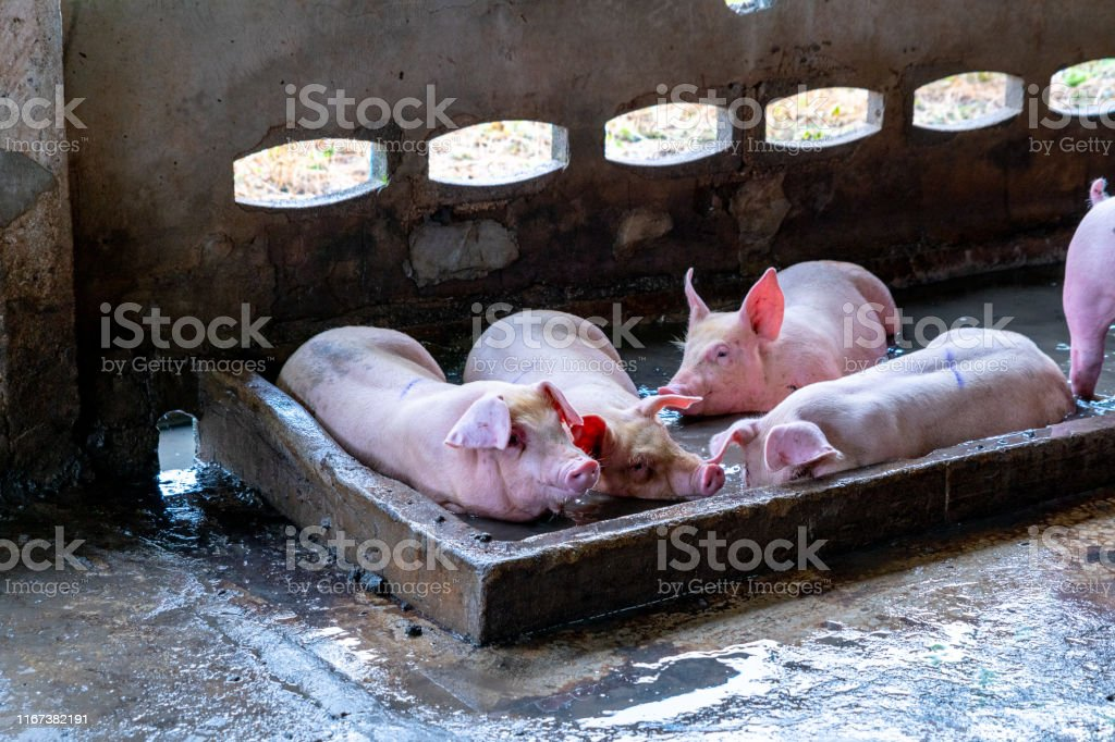 Big pig in hog farms, animal and pigs farm industry