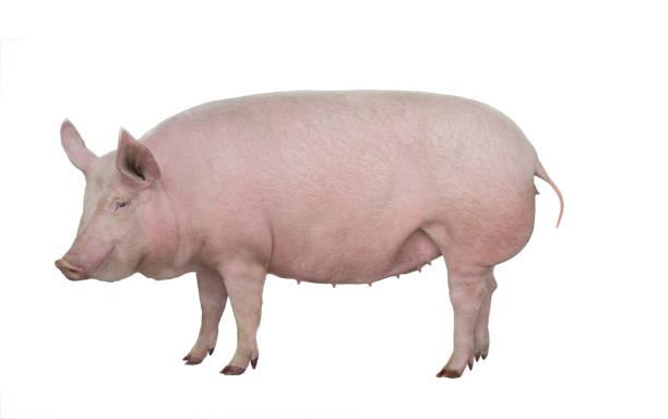 big pig isolated on white stock photo