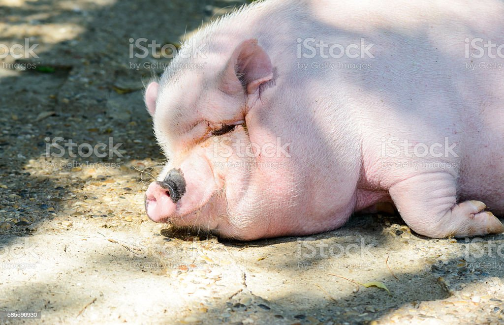 Big pig stock photo