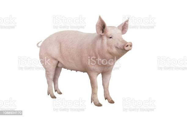 Big pig vaccination isolated on white picture id1088934170?b=1&k=6&m=1088934170&s=612x612&h=imj2gejdg0enlkfqba9uzlwadsx6ldropk2yfcw0td4=