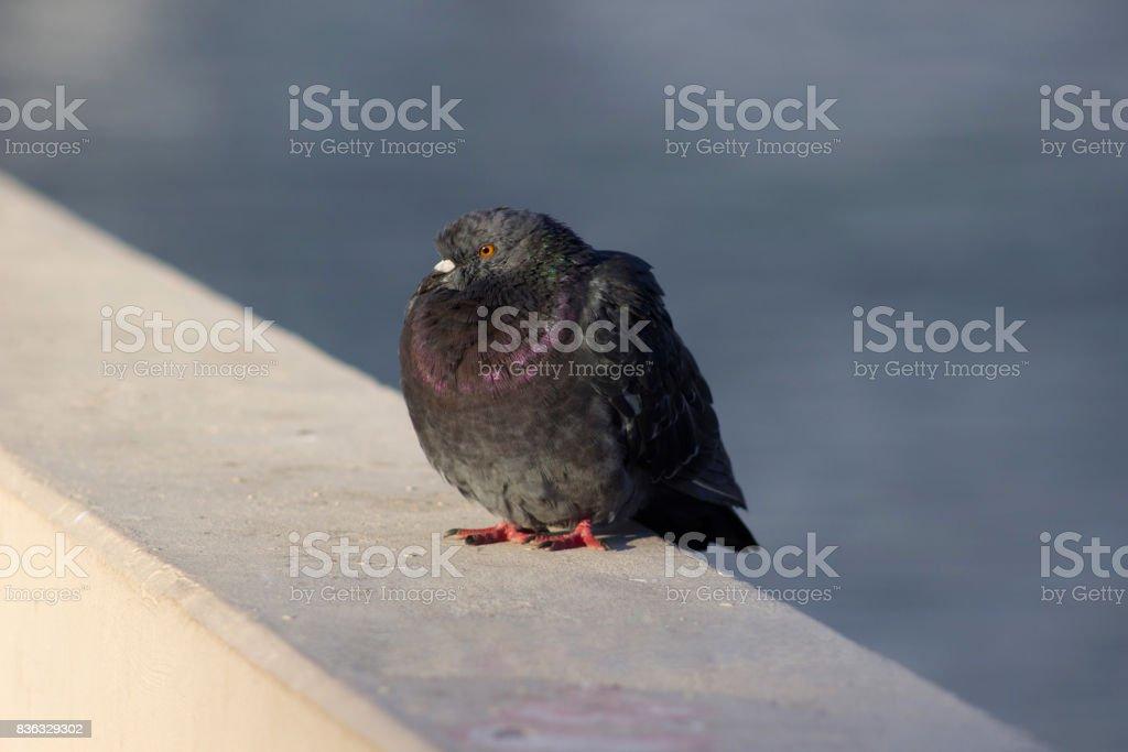 Big pigeon stock photo