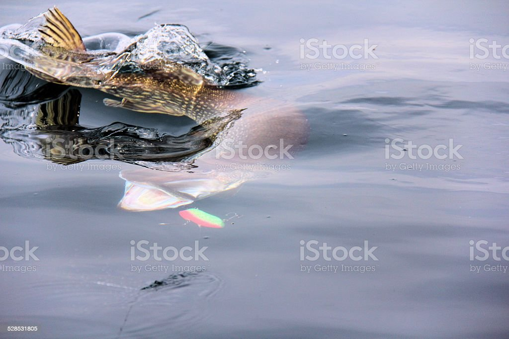 Big pike (esox lucius) fighting against fisherman stock photo
