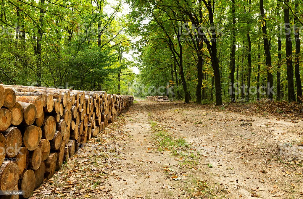 Big pile of wood in the forest in autumn time stock photo