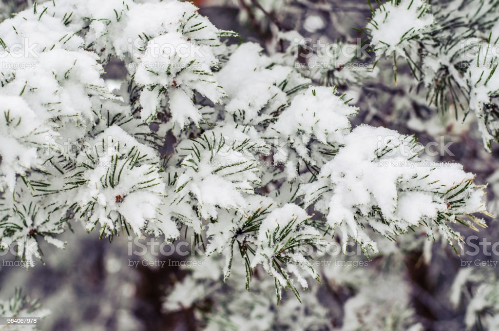 Big pine branch with snow on a cold winter day - Royalty-free Backgrounds Stock Photo