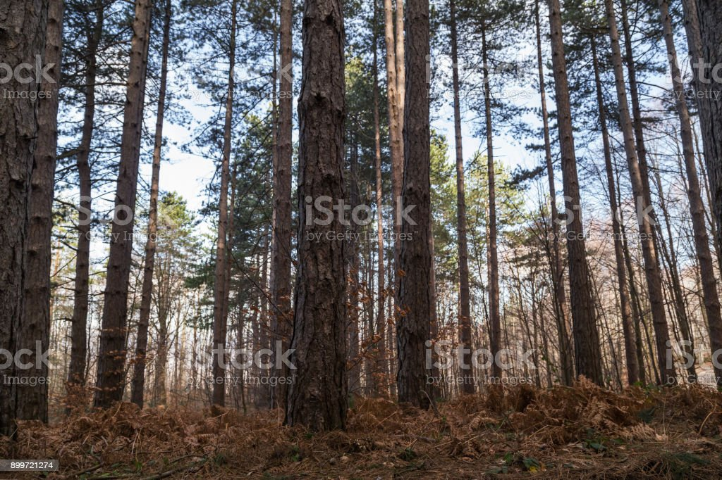 Big pine trees in the forest stock photo