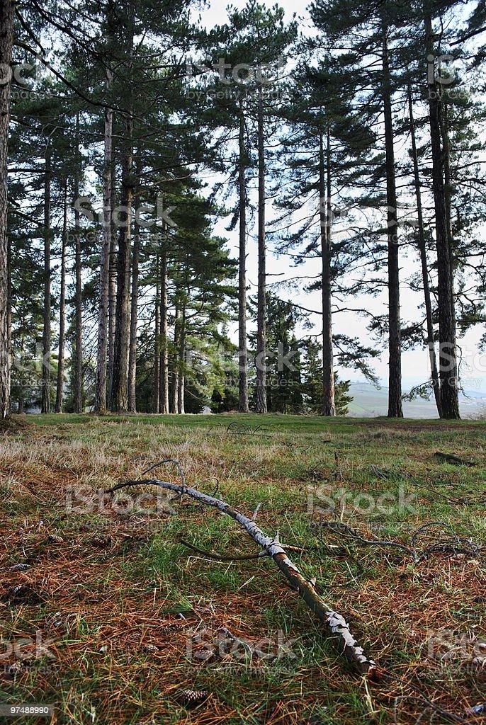 Big pine trees royalty-free stock photo