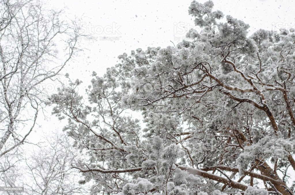 Big pine with snow on a cold winter day. bottom view - Royalty-free Branch - Plant Part Stock Photo
