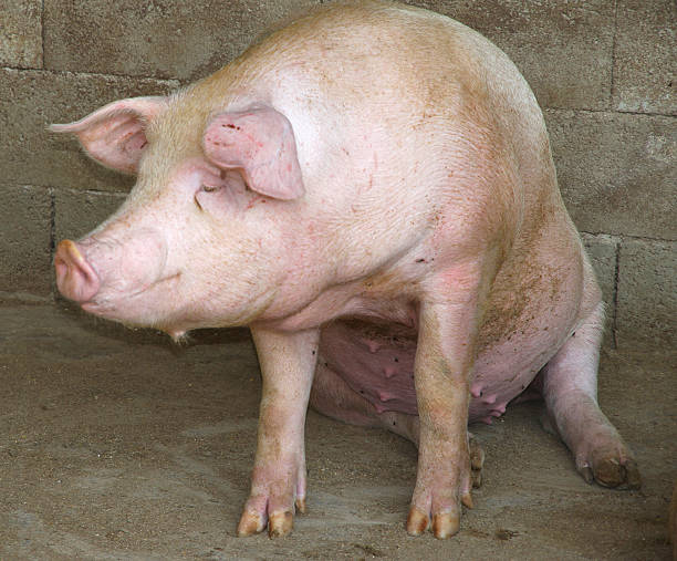 big pink pig in the pigsty of the farm stock photo