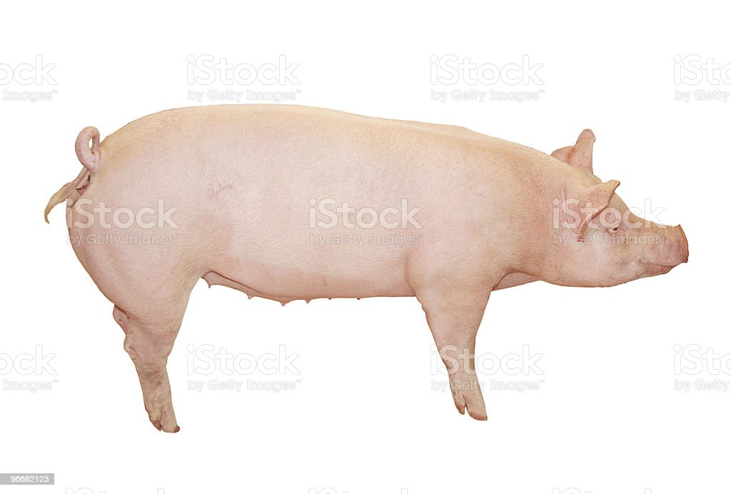 Big Pink Pig stock photo